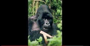 Icon Mountain Gorilla Rene Koller.jpg